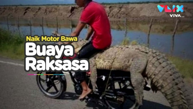 Buaya Raksasa Viral Naik Motor, Bikin Heboh Media Sosial